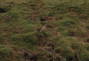 A record shot of one of the 2 Short-eared Owls spotted from the boat as we departed.