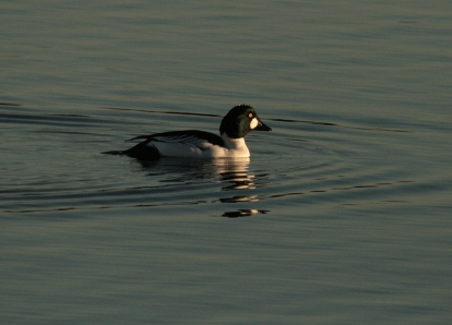 A male Goldeneye prepares to dive...