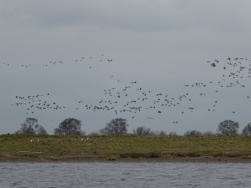 About 1500 Pinkies were roosting on the island when we arrived. Many moved over to RSPB as we got on with our work.