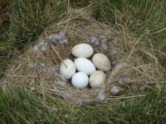 A clutch of 5 Greylag eggs