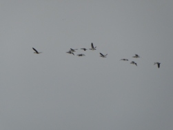 Some of the 76 Barnacle Geese....
