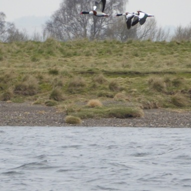 Shelducks- excellent framing there from the boat :-)