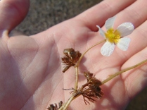 Fan-leaved Water-crowfoot