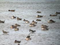 Pintail amongst other wildfowl