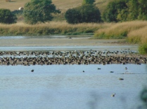 Wildfowl at Loch Leven