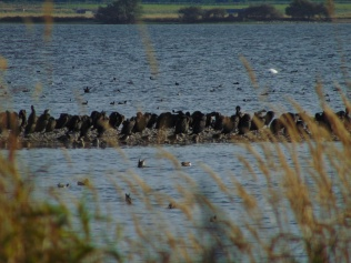 Cormorants at Loch Leven