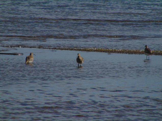Curlews from Burleigh Hide