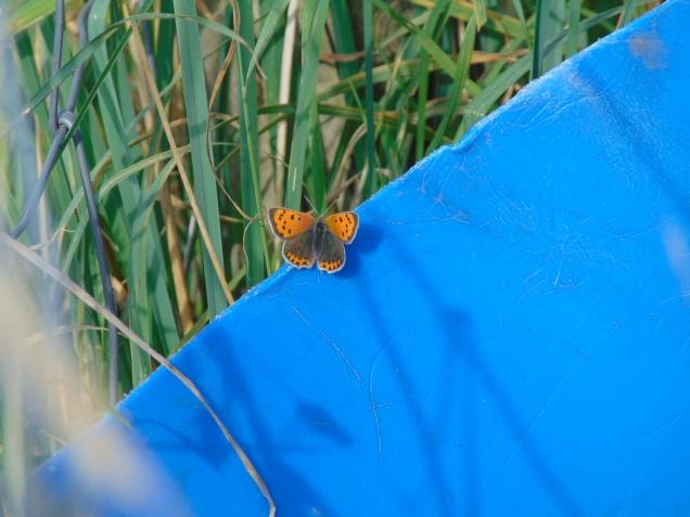 Small Copper at Loch Leven's Larder