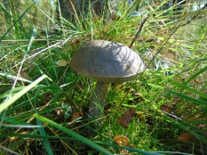 Brown Birch Bolete