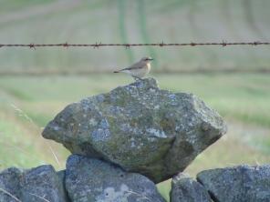 Wheatear on a stone dyke