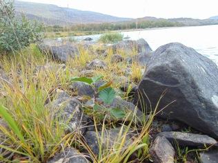 Alder sapling on the the shore of Loch Laggan