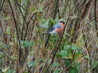 Bullfinch at Mary's Knowe