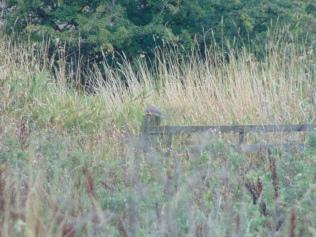 Kestrel munching a vole