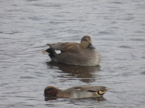 drake Gadwall and Teal