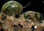 clacustris