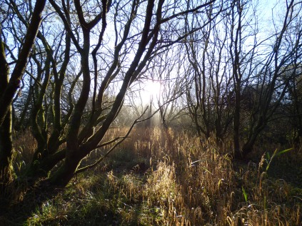 Willow carr woodland