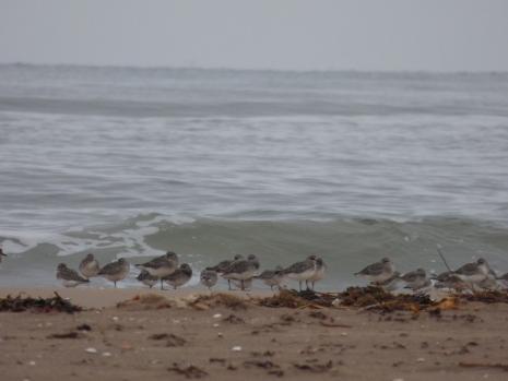 Grey Plovers, Redshank & Sanderling