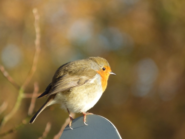 Robin's are very bold