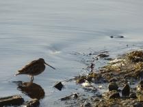Snipe (look at that beak!)