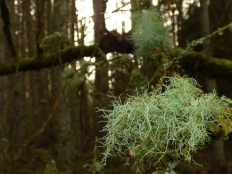 Usnea species