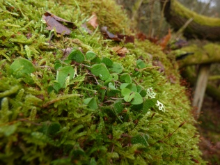 Wood-sorrel and cypress-leaved plait-moss