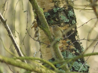 Goldcrest in silver birch