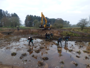 Planting the new reedbed