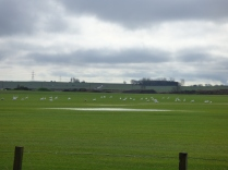 About 50 swans using the fields to feed in