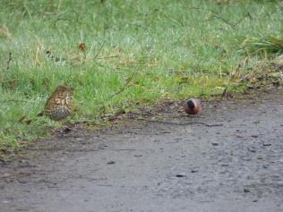 Song Thrush and Bullfinch