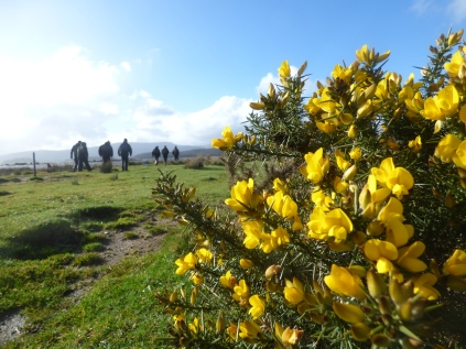 Gorse blooming in the sun