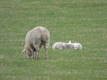 Saw my first lambs of the year