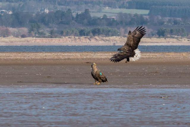 sea-eagles