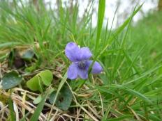 Heath Dog-violet