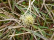 Common Cottongrass