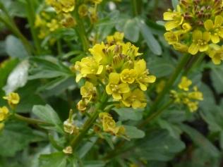 Marsh Yellow-cress