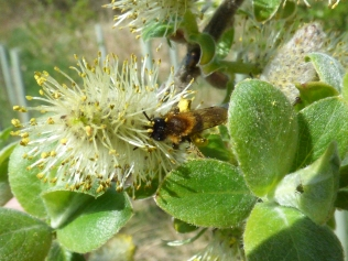 Tawny Mining Bee?