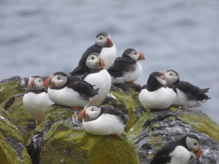 Puffins in the rain